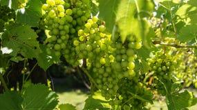 Green grapes on the bush stock photos