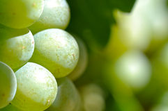 Green Grapes Close Up Royalty Free Stock Image