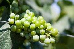Green Grapes close up Royalty Free Stock Photo