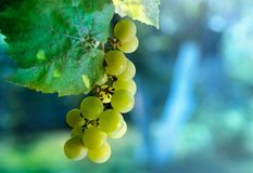 Green grapes close-up at dawn royalty free stock photography