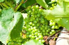 Green grapes close-up shot Stock Images