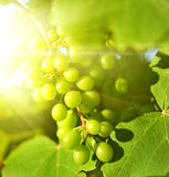 Green grapes close-up shot royalty free stock images
