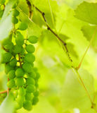 Green grapes close-up shot Royalty Free Stock Photo