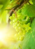 Green Grapes Close-up Shot Royalty Free Stock Photo