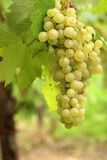 Green grapes cluster stock photo