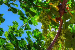 Green grapes. Cluster on a vineyard over blue sky Royalty Free Stock Photo