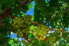 Green grapes. Cluster on a vineyard over blue sky Royalty Free Stock Images