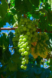 Green grapes cluster. On a vineyard over blue sky Stock Image