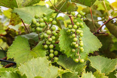 Green grapes. Green colored grapes with leaves Stock Image