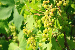 Green grapes cultivation. A shot of a green grape cultivation royalty free stock photos