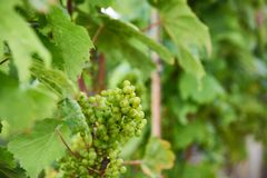 Green grapes in a Danish wineyard stock photography