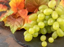 Green grapes on dark bakground with autumn, yellow leaves. On th royalty free stock photography