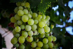 Green grapes in detail on vine Stock Photography