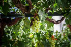 Green grapes in detail on vine Stock Images