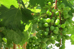 Green grapes in the early summer Royalty Free Stock Photography