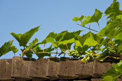 Green grapes on fence Royalty Free Stock Image