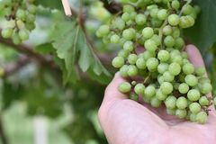 Free Green Grapes From Good Care In Women Hand With Garden Natural. Stock Photos - 164979253