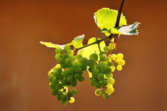 Green grapes fruit on the vine Royalty Free Stock Images