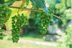Green grapes fruit on the vine. unripe. Grapes Stock Image