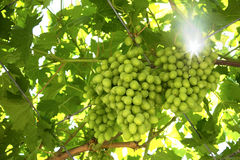 Green grapes. Grece cyprus wine Royalty Free Stock Image