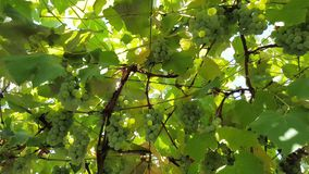 Green grapes grow on a bush. Green grapes grow on a branch among greenery. grapes weave on special supports in the yard stock footage