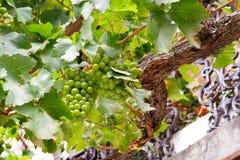Green grapes growing on a balcony. Mediterranean atmosphere. Stock Photos