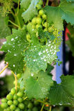Green grapes growing on the grape vines. Image Royalty Free Stock Photos