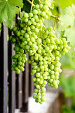 Green grapes growing on the grape vines. Image Stock Photos