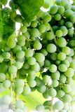 Green grapes growing on the grape vines. Image Royalty Free Stock Photography