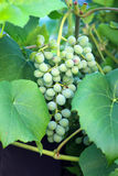 Green grapes growing on the grape vines. Image Royalty Free Stock Photo