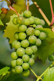 Green Grapes Growing on Vine. A cluster of green grapes growing on a vine Stock Photos