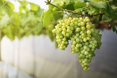 Green grapes. Growing on the vine Royalty Free Stock Photography