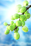 Green grapes hanging from above in bright sunlight Royalty Free Stock Photos