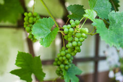 Green grapes on branch in greenhouse Stock Image