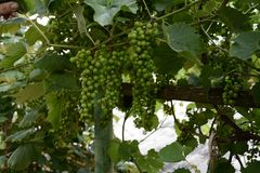 Green grapes hanging on the branches and unripe green grapes stock images