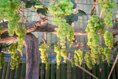 Green grapes hanging on tree display in food festival Stock Photography
