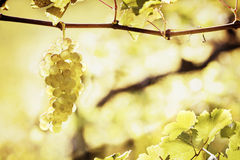 Green grapes hanging from vine Royalty Free Stock Image