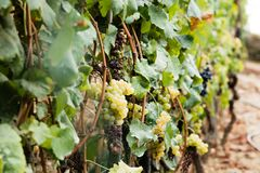 Green grapes hanging on a vineyard Stock Photography
