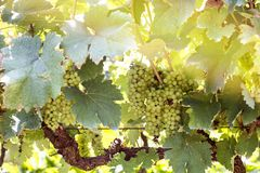 Green grapes harvest in vineyard in Tirana countryside Royalty Free Stock Photography