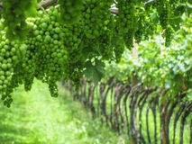 Green grapes. Here you can see many green grapes on a plantation Stock Photography
