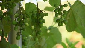 Green Grapes with illness stains. Green Grapes with illness in shadow in summer day weavin in wind on stains stock video