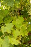 The grapes. Leaves and thunderstorms. Royalty Free Stock Image