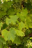 The grapes. Leaves and thunderstorms. Stock Images