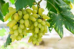 Green grapes. Mature and delicious green grapes Stock Images
