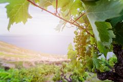 Green grapes in mountain vineyard. Stock Photography