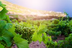 Green grapes in mountain vineyard. Royalty Free Stock Photos