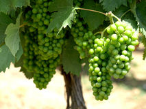 Green grapes o. N the vine Stock Photo