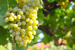 Free Green Grapes On Summer Vine Stock Image - 144547421