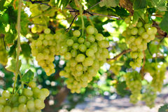 Green grapes over green background Stock Photography