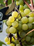 Green grapes ready for harvest and winemaking Royalty Free Stock Photo
